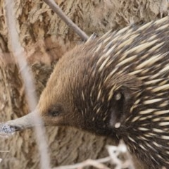 Tachyglossus aculeatus (Short-beaked Echidna) at Illilanga & Baroona - 22 Sep 2018 by Illilanga
