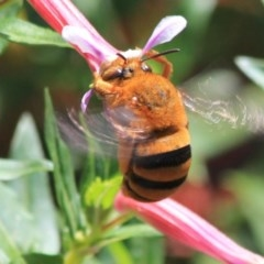 Amegilla (Asaropoda) - Teddy Bear Bee (Teddy Bear Bee) at Undefined - 28 Dec 2016 by CBrandis