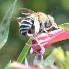 Amegilla sp. (Blue-banded Bee) at Undefined - 28 Dec 2016 by CBrandis