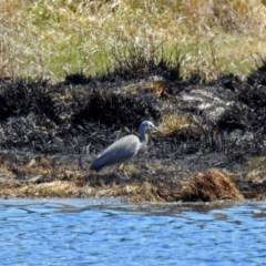 Egretta novaehollandiae at Jerrabomberra Wetlands - 29 Sep 2018