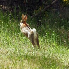 Oryctolagus cuniculus (European Rabbit) at Jerrabomberra Wetlands - 29 Sep 2018 by RodDeb