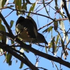 Ptilonorhynchus violaceus (Satin Bowerbird) at Mcquoids Hill - 28 Sep 2018 by HelenCross