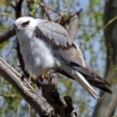 Elanus axillaris (Black-shouldered Kite) at Jerrabomberra Wetlands - 29 Sep 2018 by RodDeb