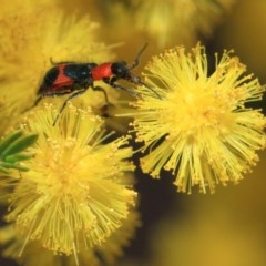 Dicranolaius bellulus (Red and Blue Pollen Beetle) at ANBG - 27 Sep 2018 by Tim L
