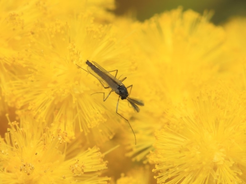 Chironomidae sp. (family) at ANBG - 27 Sep 2018