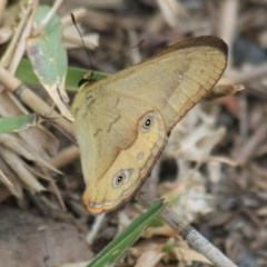 Hypocysta metirius (Brown Ringlet) at Wairo Beach and Dolphin Point - 24 Sep 2018 by CBrandis