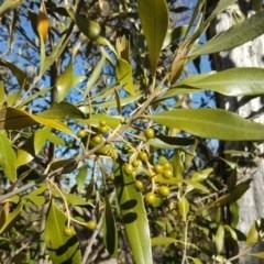 Olea europaea subsp. cuspidata (African Olive) at Mount Mugga Mugga - 30 Sep 2018 by Mike