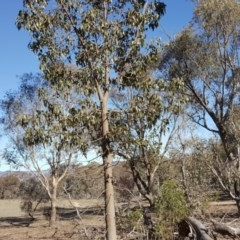 Brachychiton populneus subsp. populneus (Kurrajong) at Symonston, ACT - 30 Sep 2018 by Mike