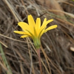 Microseris walteri (Murnong, Yam Daisy) at Mount Painter - 26 Sep 2018 by CathB