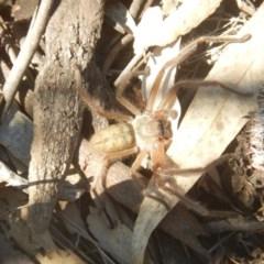 Delena cancerides (Social huntsman spider) at Ainslie, ACT - 30 Sep 2018 by MichaelMulvaney