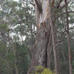 Eucalyptus pilularis (Blackbutt) at Narrawallee Foreshore and Reserves Bushcare Group - 17 Aug 2018 by NicholasdeJong