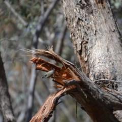 Pardalotus striatus (Striated Pardalote) at Mulligans Flat - 15 Sep 2018 by natureguy