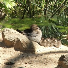 Chenonetta jubata (Australian Wood Duck) at ANBG - 20 Oct 2007 by Alison Milton
