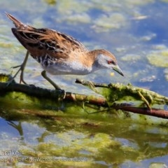 Porzana (Porzana) pusilla (Baillon's Crake) at Wairo Beach and Dolphin Point - 25 Sep 2018 by Charles Dove
