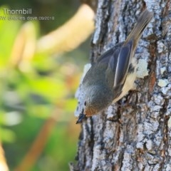 Acanthiza pusilla (Brown Thornbill) at Undefined - 27 Sep 2018 by CharlesDove