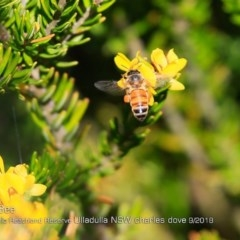 Apis (Apis) mellifera (Honey Bee) at South Pacific Heathland Reserve - 29 Sep 2018 by Charles Dove