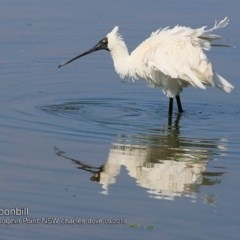 Platalea regia (Royal Spoonbill) at Wairo Beach and Dolphin Point - 24 Sep 2018 by Charles Dove