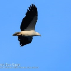 Haliaeetus leucogaster (White-bellied Sea-eagle) at Coomee Nulunga Cultural Walking Track - 26 Sep 2018 by Charles Dove