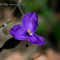 Patersonia sericea var. sericea (Silky Purple Flag) at South Pacific Heathland Reserve - 30 Sep 2018 by CharlesDove