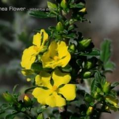 Hibbertia diffusa (Wedge Guinea Flower) at South Pacific Heathland Reserve - 30 Sep 2018 by CharlesDove