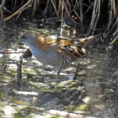 Zapornia pusilla (Baillon's Crake) at Jerrabomberra Wetlands - 1 Oct 2018 by RodDeb