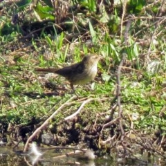 Poodytes gramineus (Little Grassbird) at Jerrabomberra Wetlands - 1 Oct 2018 by RodDeb