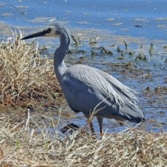 Egretta novaehollandiae (White-faced Heron) at Jerrabomberra Wetlands - 1 Oct 2018 by RodDeb