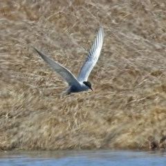 Chlidonias hybrida (Whiskered Tern) at Jerrabomberra Wetlands - 1 Oct 2018 by RodDeb