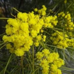 Acacia boormanii (Snowy River Wattle) at Bruce, ACT - 8 Sep 2018 by JanetRussell