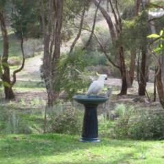 Cacatua galerita (Sulphur-crested Cockatoo) at Wamboin, NSW - 30 Sep 2010 by natureguy