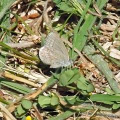 Zizina otis (Common Grass-blue) at Watson, ACT - 2 Oct 2018 by RodDeb