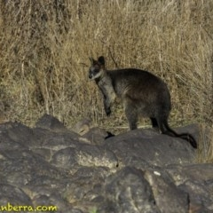 Wallabia bicolor (Swamp Wallaby) at Cotter Reserve - 22 Sep 2018 by BIrdsinCanberra