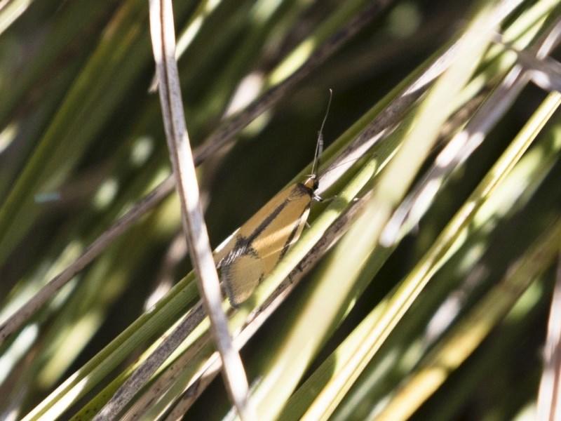 Philobota undescribed species near arabella at Michelago, NSW - 1 Oct 2018