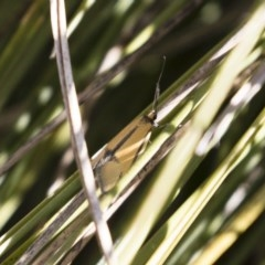 Philobota sp near arabella (A concealer moth) at Michelago, NSW - 30 Sep 2018 by Illilanga