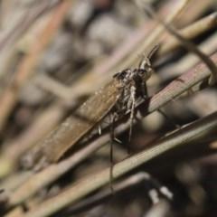 Oecophorinae (subfamily) (Unidentified Oecophorinae concealer moth) at Illilanga & Baroona - 21 Jun 2018 by Illilanga