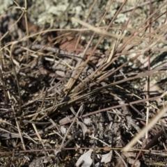 Oecophoridae (family) at Illilanga & Baroona - 21 Jun 2018