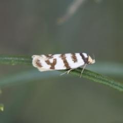Oecophoridae (family) at Illilanga & Baroona - 17 Jan 2018
