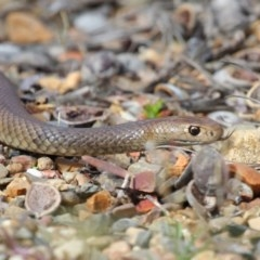 Pseudonaja textilis (Eastern Brown Snake) at ANBG - 2 Oct 2018 by Tim L