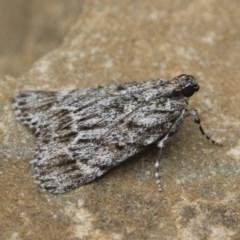 Spectrotrota fimbrialis (A Pyralid moth) at Illilanga & Baroona - 15 Jan 2018 by Illilanga