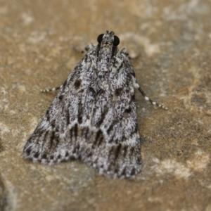 Spectrotrota fimbrialis at Michelago, NSW - 15 Jan 2018