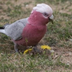 Eolophus roseicapillus (Galah) at City Renewal Authority Area - 3 Oct 2018 by Alison Milton
