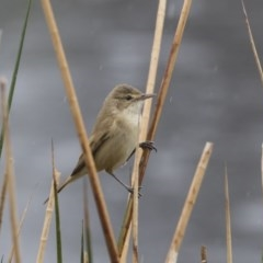 Acrocephalus australis (Australian Reed-Warbler) at City Renewal Authority Area - 3 Oct 2018 by Alison Milton