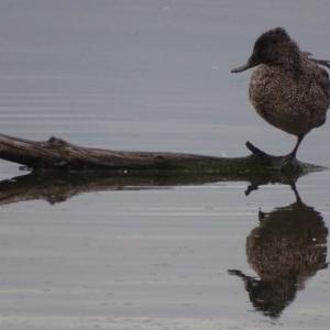 Stictonetta naevosa at Jerrabomberra Wetlands - 3 Oct 2018