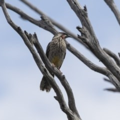 Anthochaera carunculata (Red Wattlebird) at Mount Painter - 2 Oct 2018 by Alison Milton