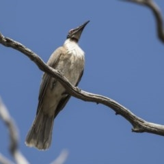 Philemon corniculatus (Noisy Friarbird) at Mount Painter - 2 Oct 2018 by Alison Milton