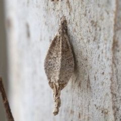 Hyalarcta nigrescens (Ribbed Case Moth) at Mount Painter - 2 Oct 2018 by Alison Milton