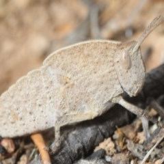 Goniaea sp. (genus) (A gumleaf grasshopper) at Googong Foreshore - 1 Oct 2018 by Harrisi