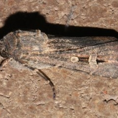 Agrotis infusa (Bogong Moth, Common Cutworm) at O'Connor, ACT - 12 Sep 2018 by PeteWoodall