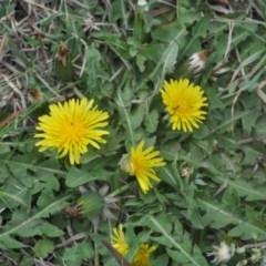 Taraxacum sp. (Dandelion) at Griffith Woodland - 5 Oct 2018 by ianandlibby1