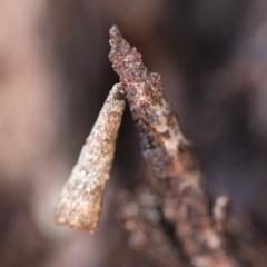 Lepidoscia (genus) (Unidentified cone case moth) at Michelago, NSW - 10 Sep 2018 by Illilanga